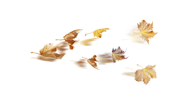 leaf of plane tree wind  isolated for  autumn  background