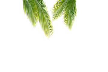 palm leaf or coconut leaves isolated with clipping path on background. tropical leaf beach concept.