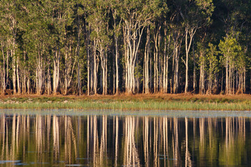Tropical wetland with paperbark (Melaleuca) reflected in water, Darwin, Australia