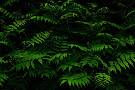 Green leaves of  Sorbaria Sorbifolia (Ural false spiraea, schizonotus, Spiraea pinnata). Summer foliage in the night. Dark background