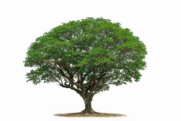 Tree isolated on white background .Tropical  Tree