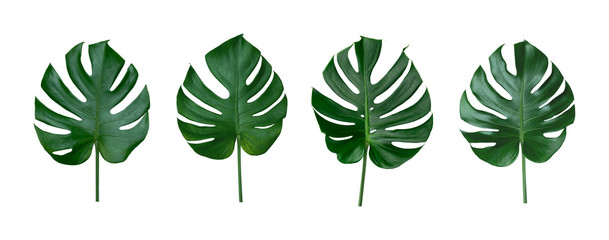 Green leaf background. Tropical leaves Monstera on white background. There are Clipping Paths for the natural designs and decoration