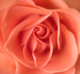 Blume flower rose rosa orange romatisch gemälde drawing pretty romantic garten