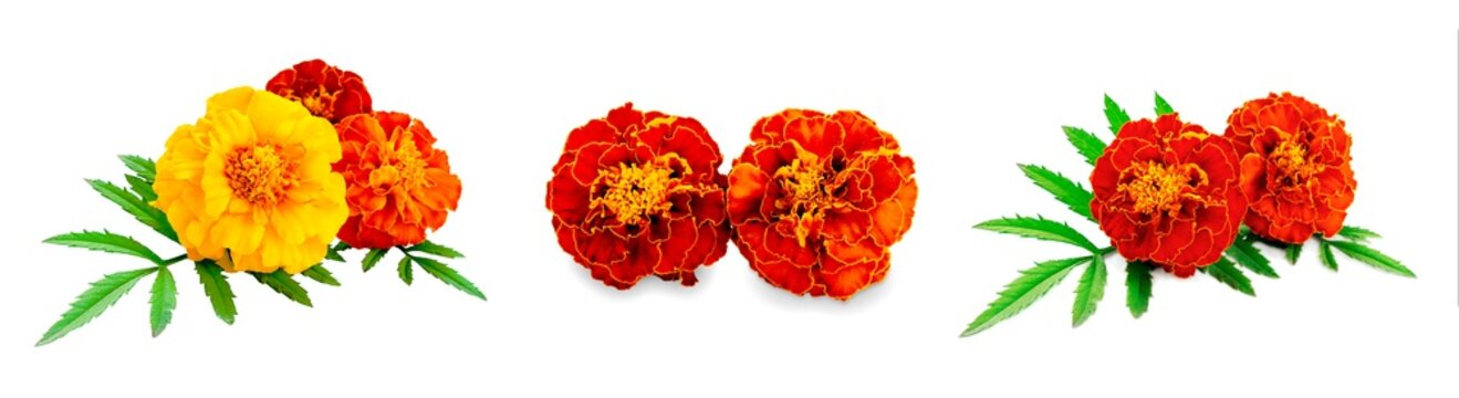 Set of marigolds isolated on a white background. French calendula with red and yellow flowers close-up. Marigold flower, Marigold erect, Mexican marigold isolated on white background.