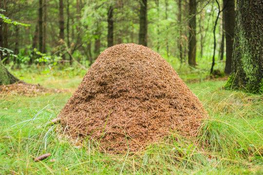 Großer Ameisenhaufen auf Waldlichtung Rote Waldameise