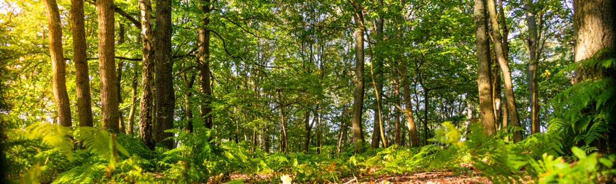Panoramic of a woodland forest floor at sunrise in the English countryside
