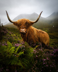 Wall Murals Cow Scotland highlands cow
