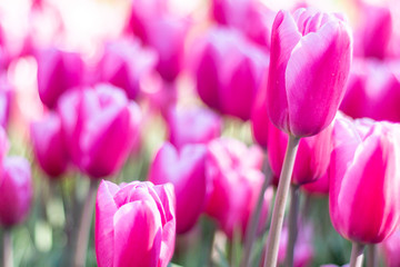 Foto op Plexiglas Roze Nature Colorful Tulips