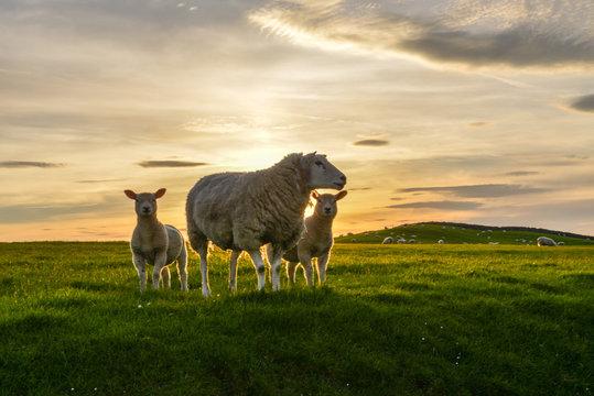 Sheep and lambs at sunset