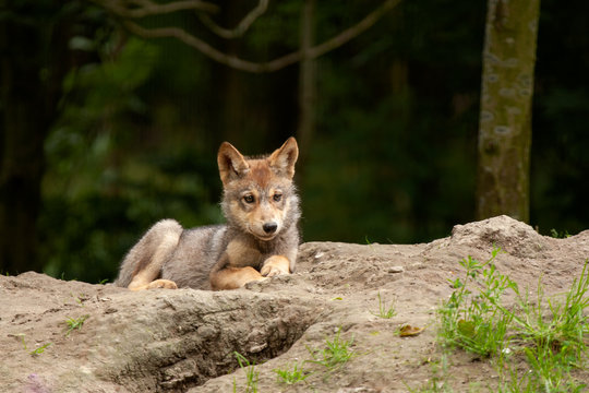 A young wolf lying on the ground