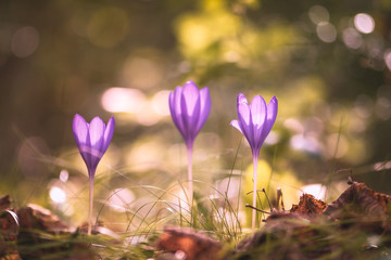 Photo sur Plexiglas Crocus Colchicum autumnale, commonly known as autumn crocus