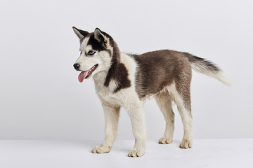 beautiful husky dog taking part in the exebition, sale, discount, full length side view photo, wild lost stray animal