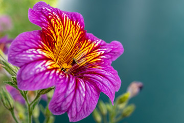 Close up of a beautiful purple colored Petunia Surfinia flower with yellow striped petals sprinkled with pollen grains on a blurred green background.