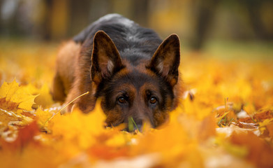 Dog breed German shepherd, autumn lies in yellow leaves maple