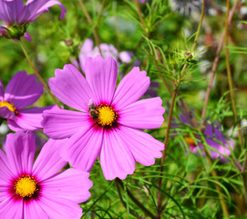 Pair of pink Cosmos flowers in a field