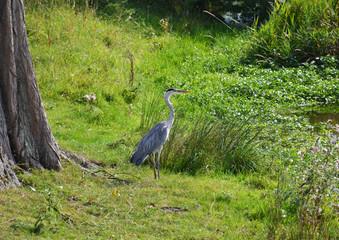 Heron bird near a small pond