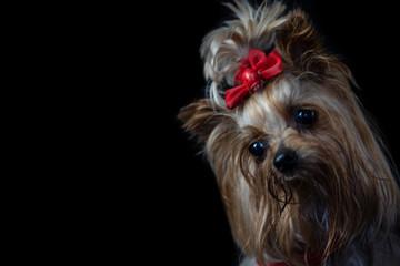 Little beautiful dog on a black background
