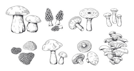 Hand drawn mushrooms. Vintage sketch of porcini portobello fungus morel truffle and oyster mushrooms. Vector illustration isolated doodle engraved variety raw fungus set on white background