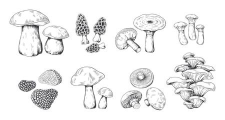 Fototapeta Hand drawn mushrooms. Vintage sketch of porcini portobello fungus morel truffle and oyster mushrooms. Vector illustration isolated doodle engraved variety raw fungus set on white background obraz