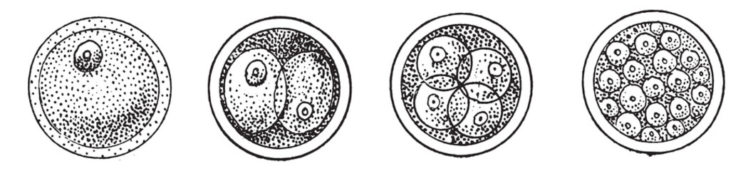 First phases of the evolution of the cell, or of the egg, after fertilization, vintage engraving.