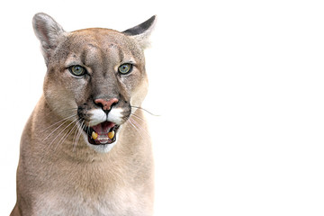 Tuinposter Puma canadian cougar on a white background