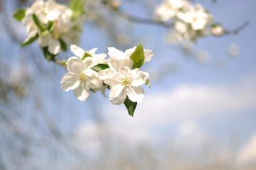Kirschblüten am Baum
