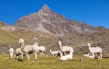 Photo sur Aluminium Lama llama or lama, Andes mountains,