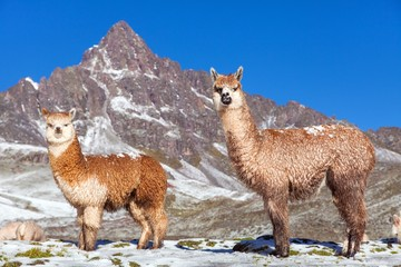 Photo sur Aluminium Lama llama or lama, two lamas on pastureland