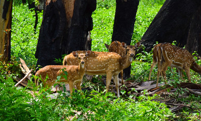 A pair of spotted deer peeking at the passer-by vehicles while grazing in the forests of Wayanad National Park, India