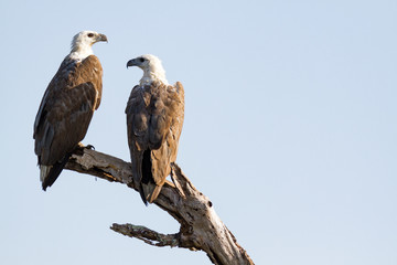 A pair of white-bellied sea eagles, Corroborree Billabong, Northern Territory, Australia