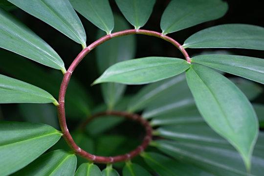 spiral ginger