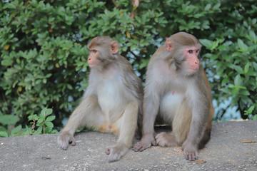 Monkey at hong kong, Kam Shan Country Park 2019