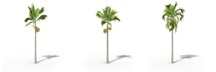 Betel nut palm on a white background.Isolated trees with clipping path, Realistic 3D rendering