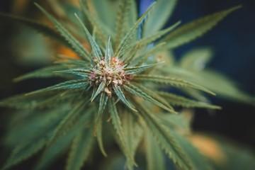 Cannabis wild plant in garden.