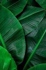 Wall Mural - tropical banana leaf, abstract green banana leaf, large palm foliage nature dark green background