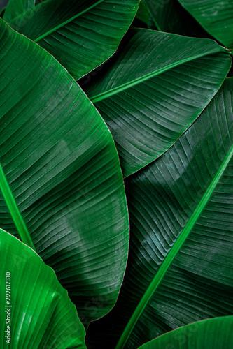 Wall mural tropical banana leaf, abstract green banana leaf, large palm foliage nature dark green background