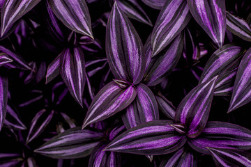 Wall Mural - leaves of tradescantia zebrina bosse, abstract purple texture, nature background, tropical leaf