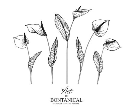 Sketch Floral Botany Collection. Anthurium flower drawings. Black and white with line art on white backgrounds. Hand Drawn Botanical Illustrations.Vector.