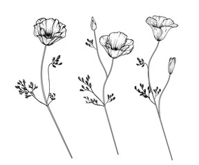 Sketch Floral Botany Collection. California poppy flower drawings. Black and white with line art on white backgrounds. Hand Drawn Botanical Illustrations.Vector.