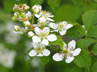 Beautiful in spring bloom garden. Raspberry bush with white flowers. Flowering rubus