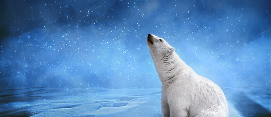 Photo sur Plexiglas Ours Blanc Polar bear,snowflakes and sky.Winter landscape with animals, panoramic mock up image