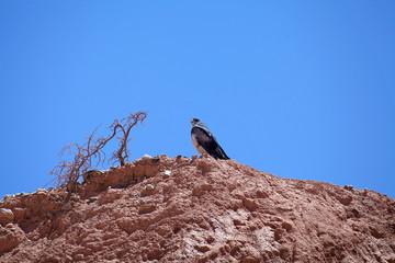 Bird of prey in Calchaqui Valley, Argentina