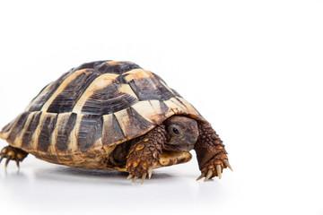 Eastern Hermann's tortoise, European terrestrial turtle, Testudo hermanni boettgeri, turtle on a white background