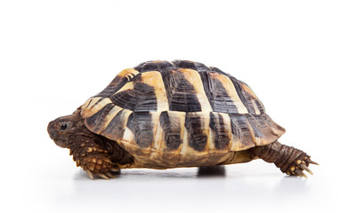 Eastern Hermann's tortoise, European terrestrial turtle, Testudo hermanni boettgeri, turtle on a white background
