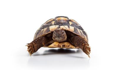 Photo sur Toile Tortue Eastern Hermann's tortoise, European terrestrial turtle, Testudo hermanni boettgeri, turtle on a white background