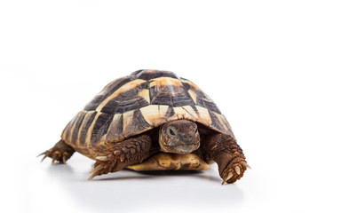 Photo sur Aluminium Tortue Eastern Hermann's tortoise, European terrestrial turtle, Testudo hermanni boettgeri, turtle on a white background