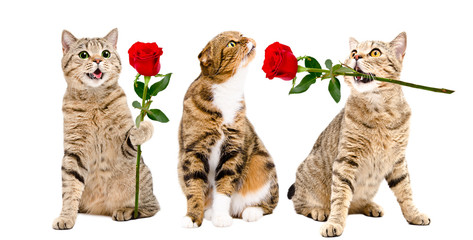 Two cats presents a rose to a cat sitting isolated on white background
