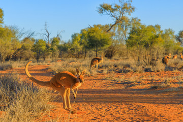 Photo sur Toile Kangaroo Red kangaroo, Macropus rufus, jumping over red sand of outback central Australia in the wilderness. Australian Marsupial in Northern Territory, Red Centre. Desert landscape at sunset.