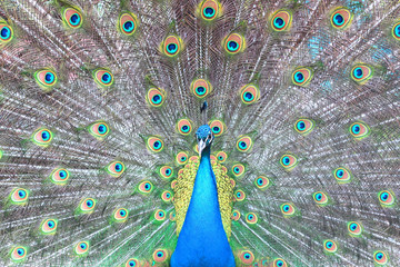 Papiers peints Paon head of beautiful peacock on background of colored bright peacock feathers