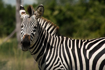 zebra head in close-up, showing details of the stripes. Picture taken wildlife safari in an African National Park.